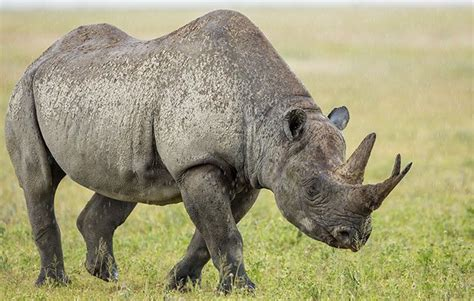 Fascinating rhino facts for kids | National Geographic Kids