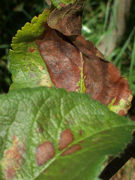 Brown Spots and Curling Brown Leaves on Apple Trees--What