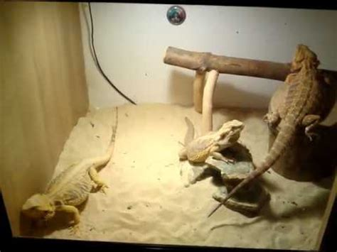 Two pregnant citrus female Bearded Dragons and flame red