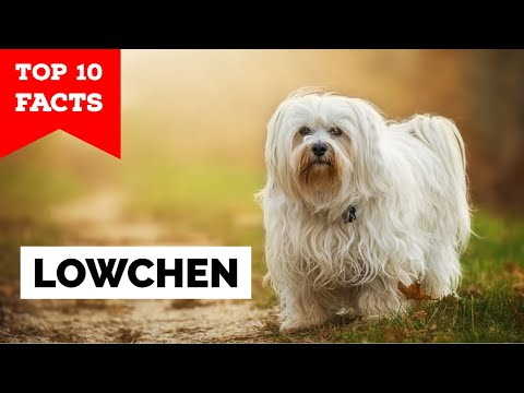 Lowchen Breed Guide - Learn about the Lowchen