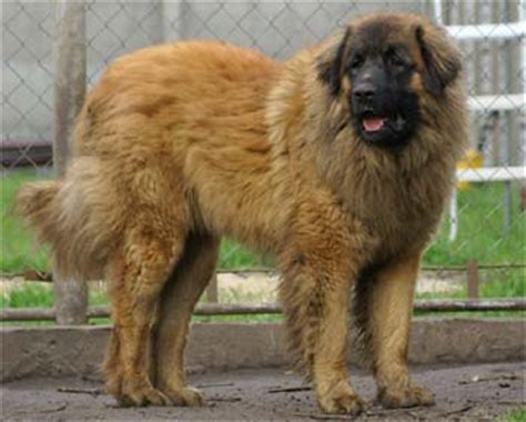 Leonberger Photos Pictures Leonbergers - Page 1